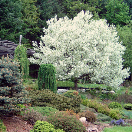 Trees snow drift crabapple in late spring mightylinksfo